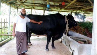 Photo of অবিক্রিত ৩০ মণের 'পালোয়ান', উপহার দিতে চান প্রধানমন্ত্রীকে